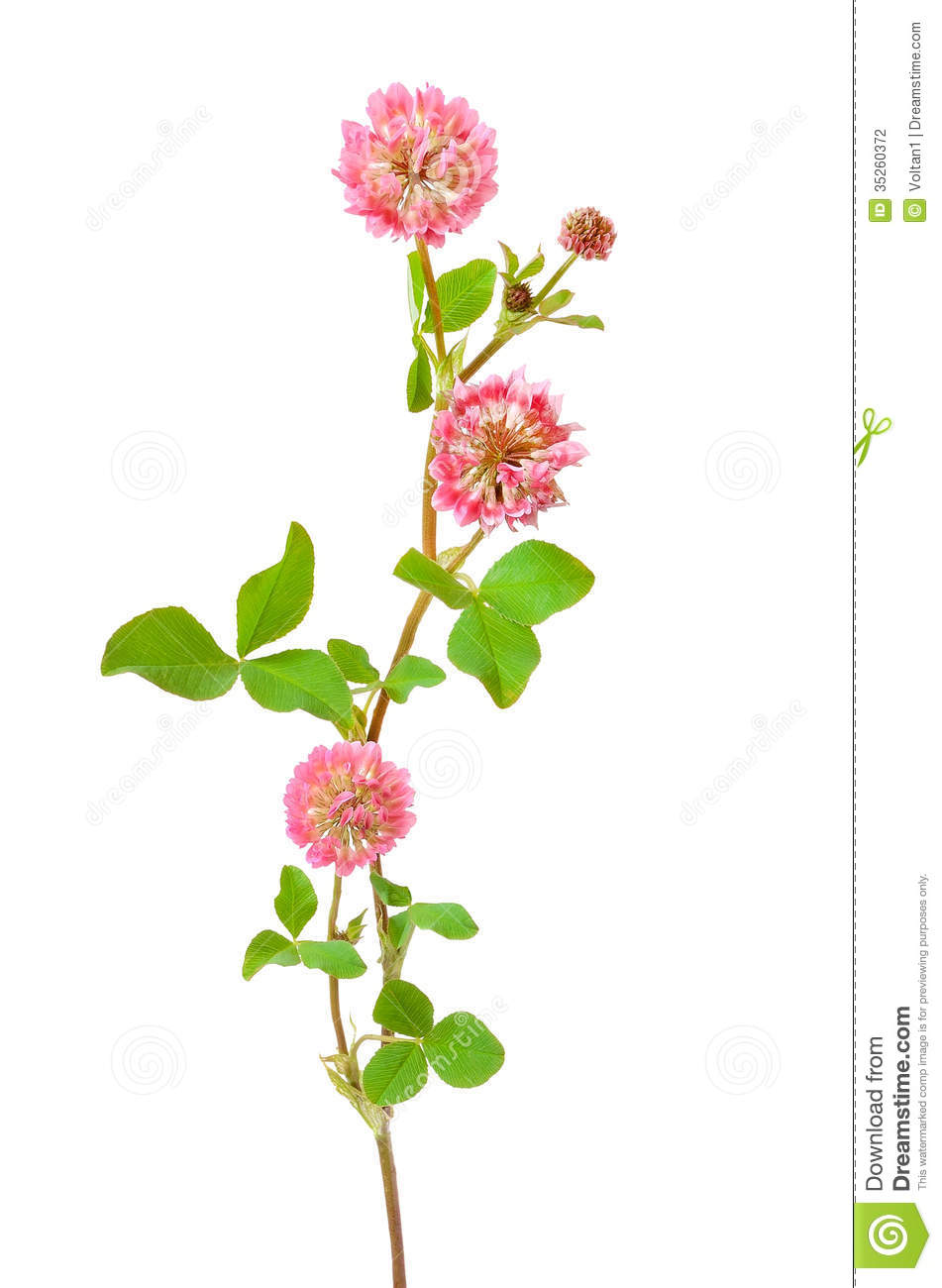 Pink Clover Flower Stock Photography.