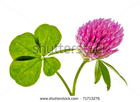Clover Flower Stock Images, Royalty.