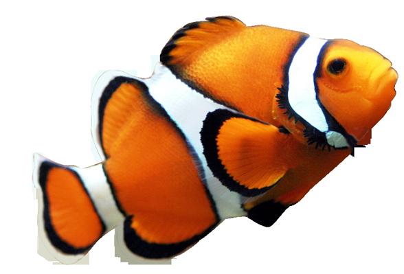 Clown fish clipart transparent background.
