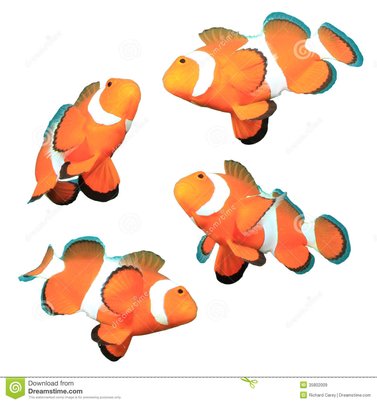 Clownfish Isolated On White Background Royalty Free Stock Images.