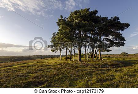 Picture of Clump of Scots Pine Trees.
