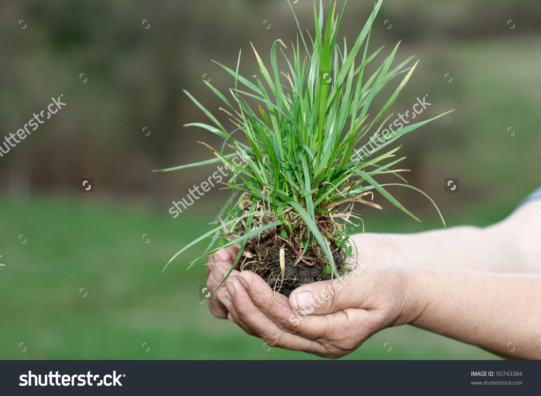 Human Hand Holding Clump Grassenvironmental Concept Stock Photo.