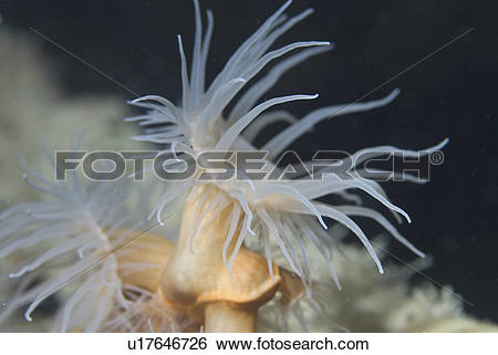 Stock Images of Coral Anemone (Nemanthus annamensis), small.