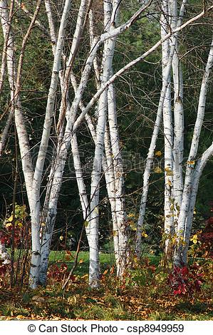 Stock Photographs of Birch Clumps.