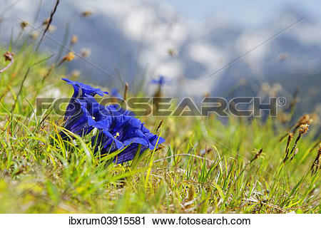"Stock Photography of ""Clusius' gentian (Gentiana clusii), Garmisch."