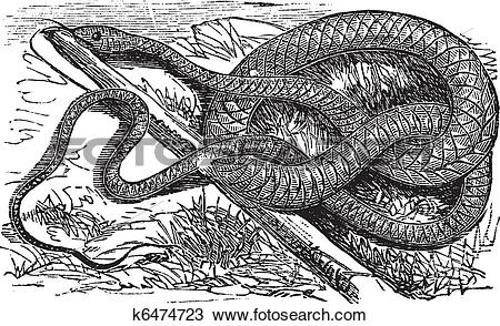 Clipart of Whipsnake or Coachwhip or Masticophis flagellum.