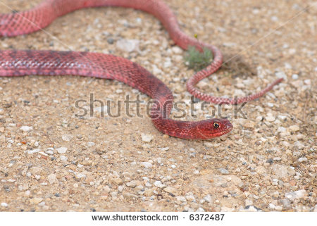 Coachwhip Stock Photos, Royalty.