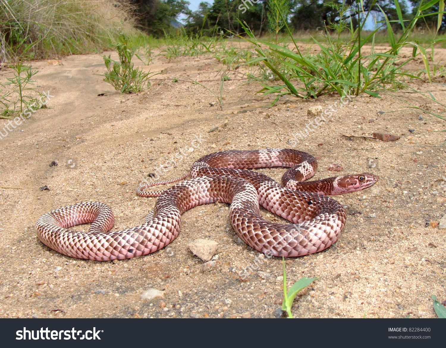 Western Coachwhip Snake Stock Photo 82284400 : Shutterstock.