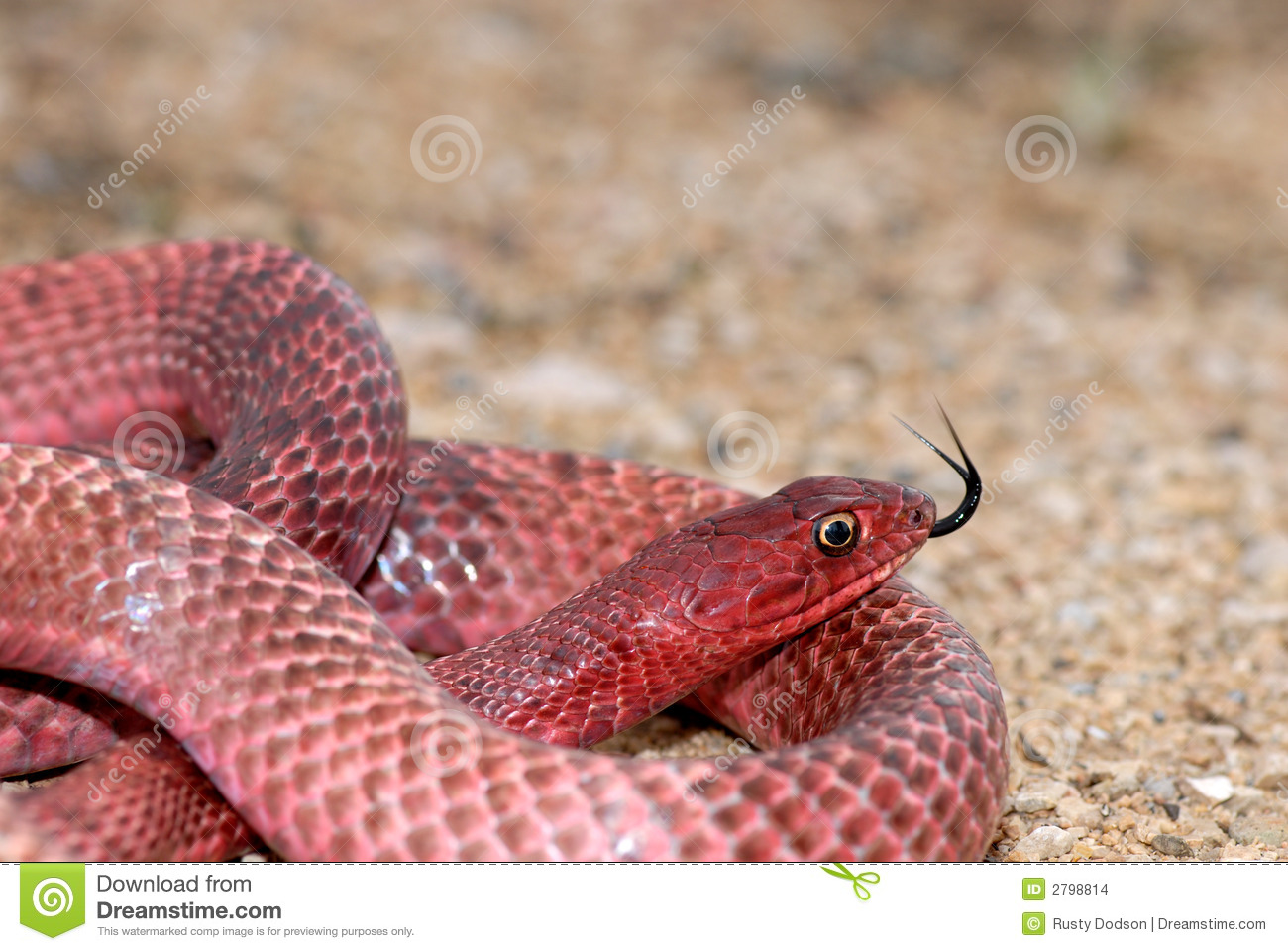 Western Coachwhip Stock Images.