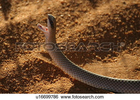 Stock Images of Rufous Beaked Snake with Open Mouth u16699786.