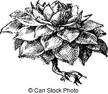 Sempervivum Clip Art and Stock Illustrations. 16 Sempervivum EPS.