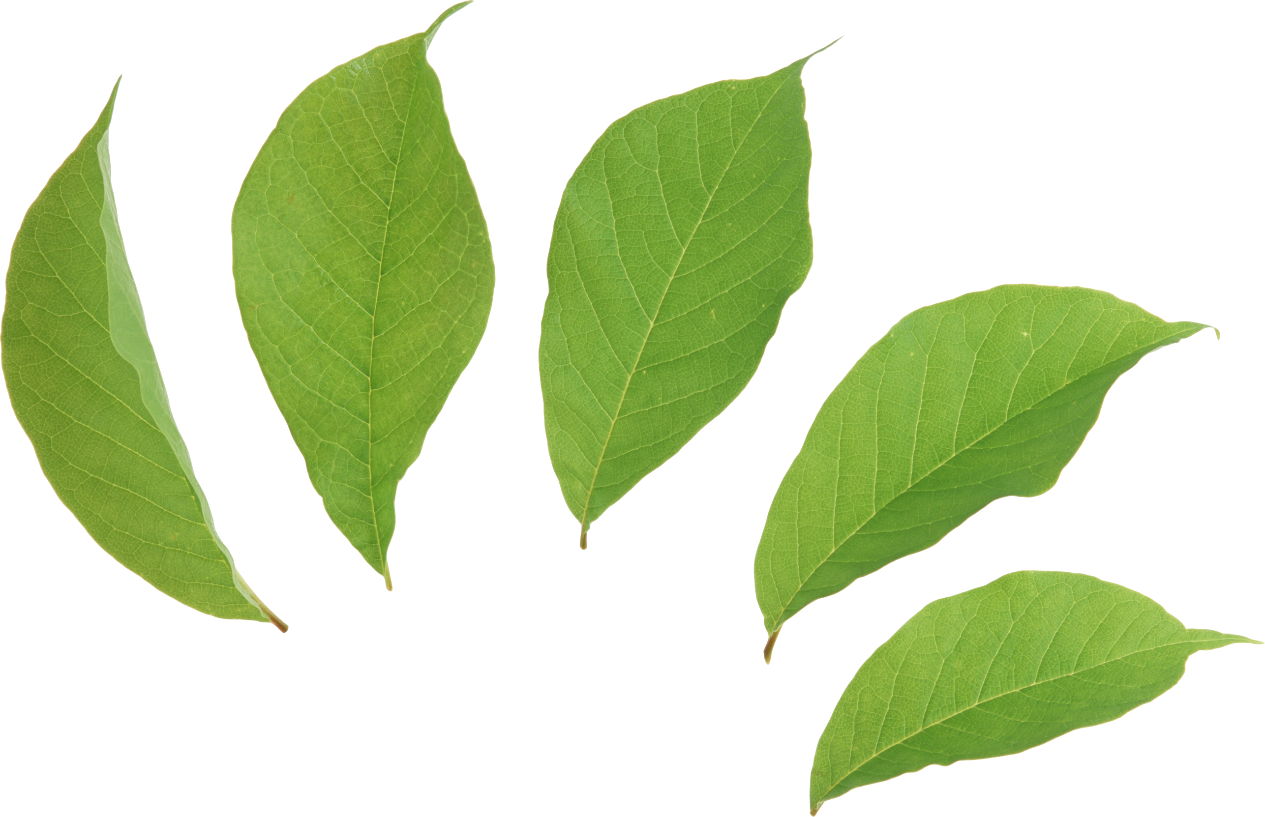 Coca Leaves Clipart Clipground