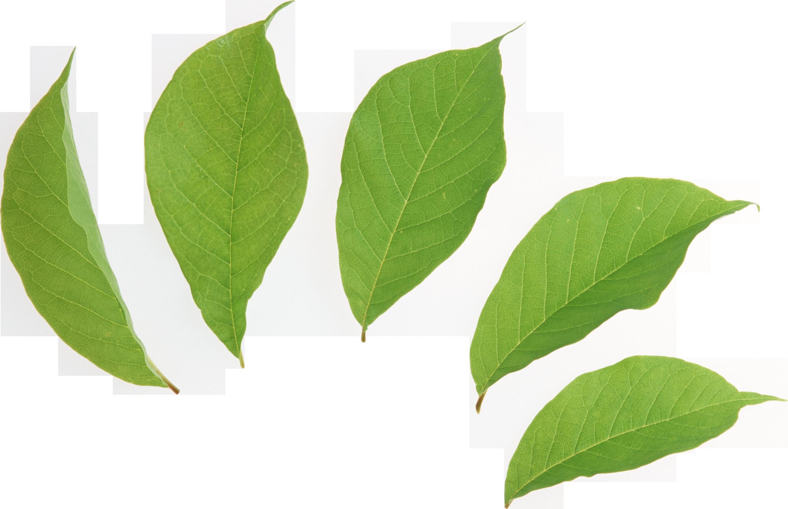 Coca Leaf Clip Art.