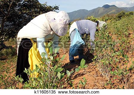 Stock Image of Tow women harvesting Coca leaves in Bolivia.
