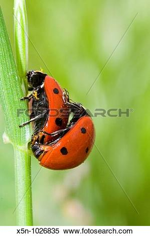 Stock Image of Coccinella septempunctata x5n.