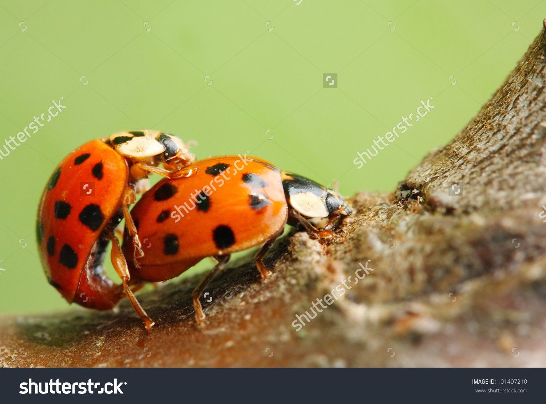 Sevenspotted Ladybug Coccinella Septempunctata Lovemaking Ladybugs.