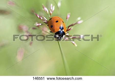 Stock Photography of ladybird.