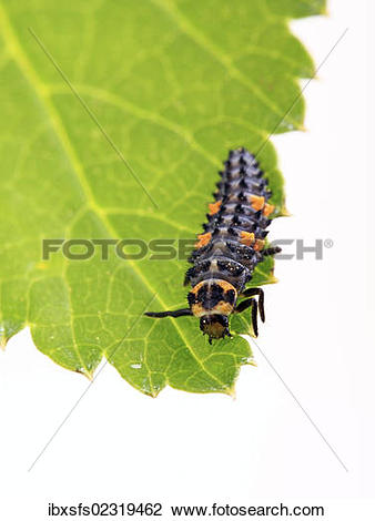 Stock Photo of Larva of a Seven.
