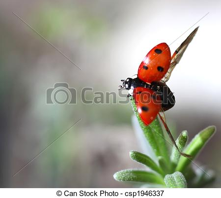 Picture of Ladybird Coccinella septempunctata taking off.