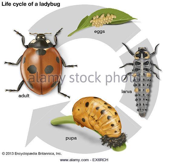 Coccinella Septempunctata And Larva Stock Photos & Coccinella.