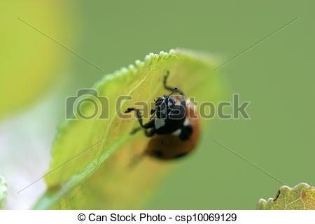 Stock Photo of coccinella septempunctata.