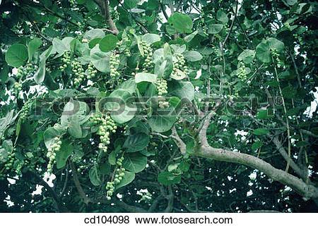 Pictures of Sea grape (Coccoloba uvifera) cd104098.