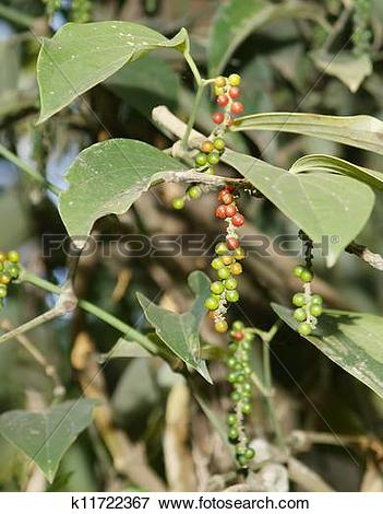 Picture of Black pepper with immature fruit, perennial climbing.