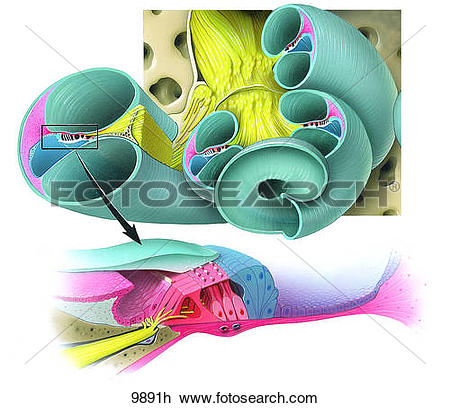 Clip Art of Cochlea and Organ of Corti Unlabeled 9891h.