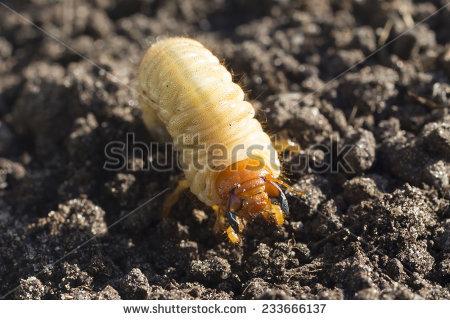Spang Beetle Stock Photos, Royalty.