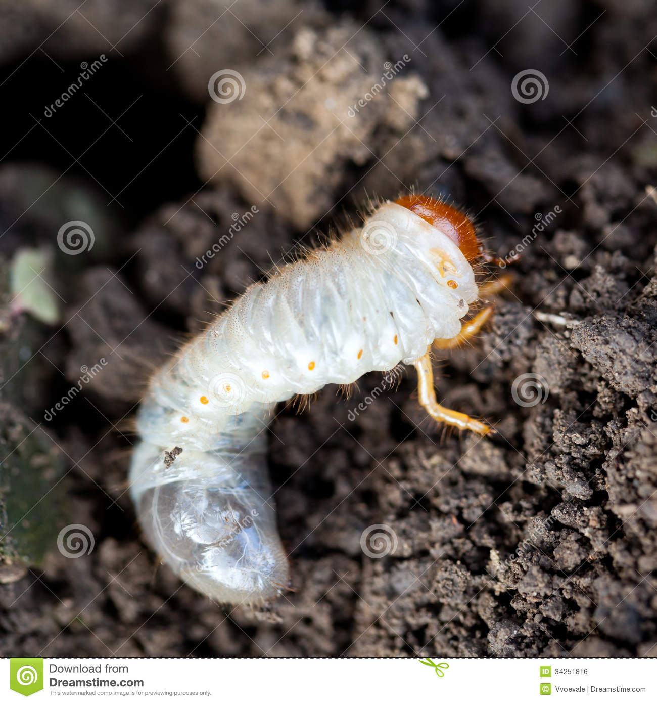 Cockchafer Grub Stock Photos, Images, & Pictures.