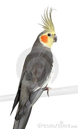 Yellow White Cockatiel Stock Photos, Images, & Pictures.