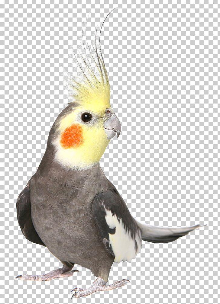 Cockatiel Bird Budgerigar Cockatoo Pet PNG, Clipart, Animals, Beak.
