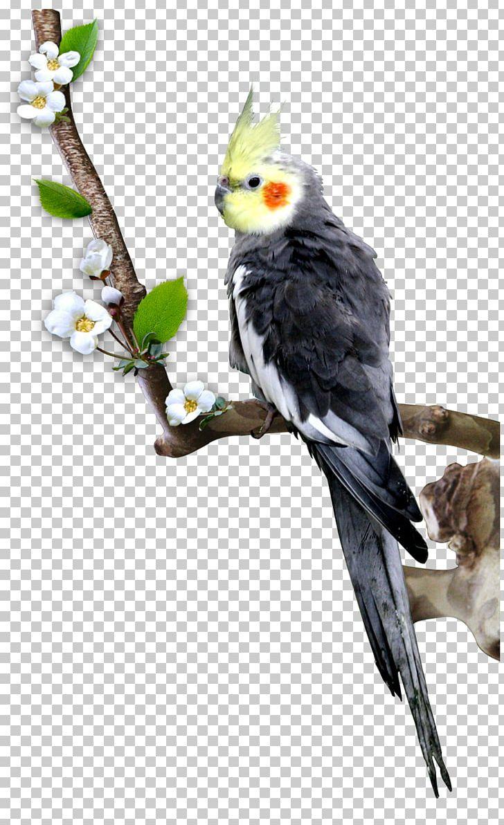 Cockatiel Bird Parrot Budgerigar PNG, Clipart, Animals, Balloon.