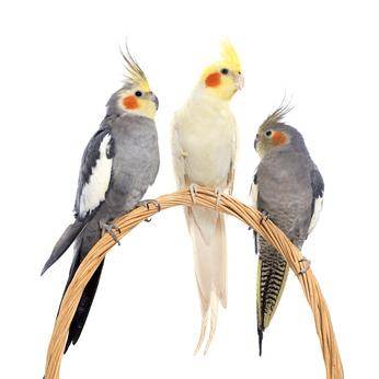 History of the Cockatiel.