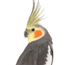 Cockatiel Feeds :: Zoo Supply.