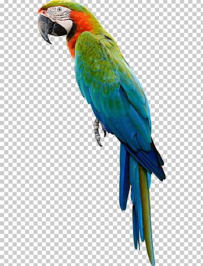Cockatiel PNG.