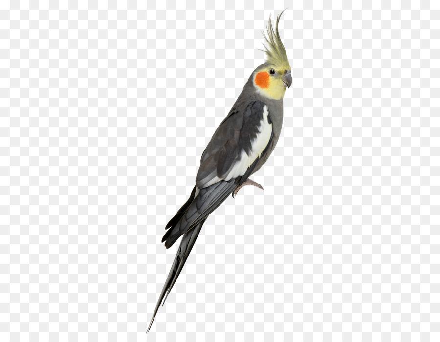 Bird Parrot png download.