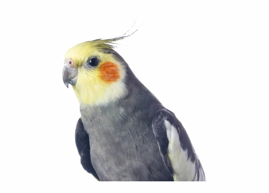 Cockatiel Free PNG Images & Clipart Download #2864575.