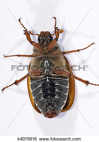 Stock Images of cockchafer, (Melolontha melolontha) k4075916.