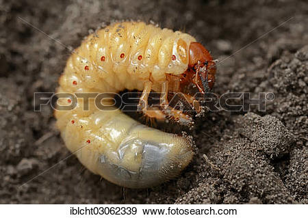 """Stock Photograph of """"Cockchafer, may bug (Melolontha melolontha."""