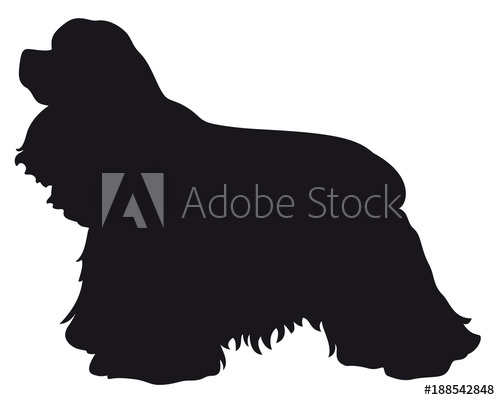 American Cocker Spaniel dog.