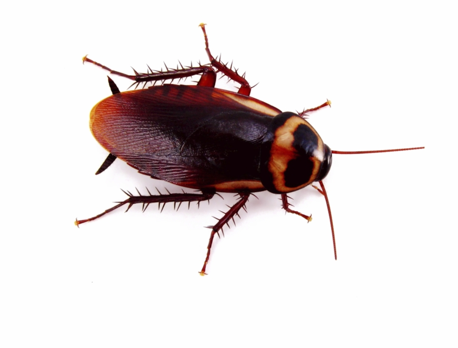 Roach Png Image.