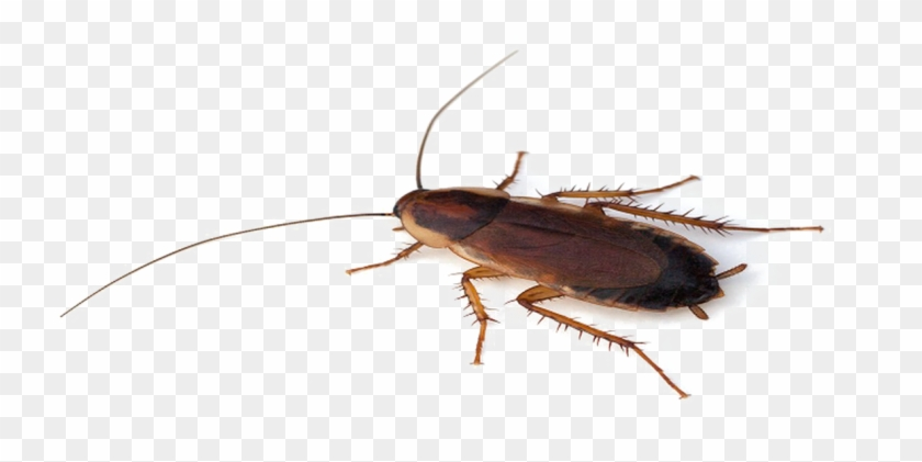 Cockroach Png Transparent File.