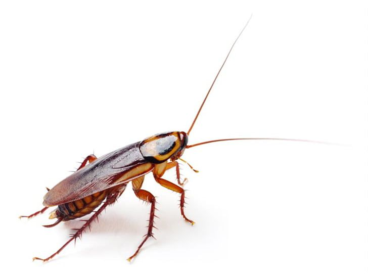 German Cockroach American Cockroach Insect Blattella Asahinai PNG.
