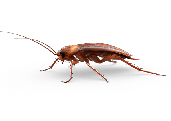 Large Cockroach transparent PNG.