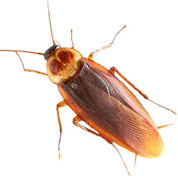 Roach PNG images free download.