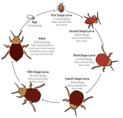 bed_bug_life_cycle.