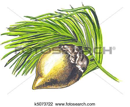 Clip Art of Fruit of a Coco de Mer k5073722.