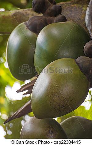 Stock Photography of Coco de Mer at palm in Vallee De Mai, Praslin.