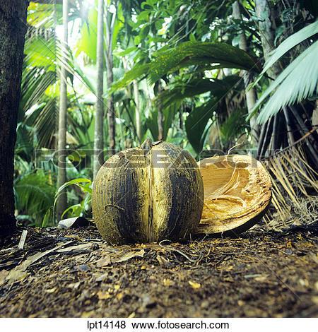 Pictures of Coco de Mer nut, Vallée de Mai, nature reserve park.